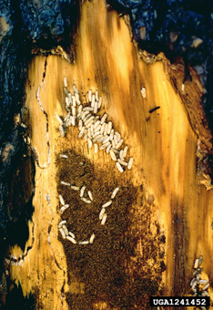 Figure 5. RTB adults and feeding larvae inside their gallery under the bark of an RTB infested pine.