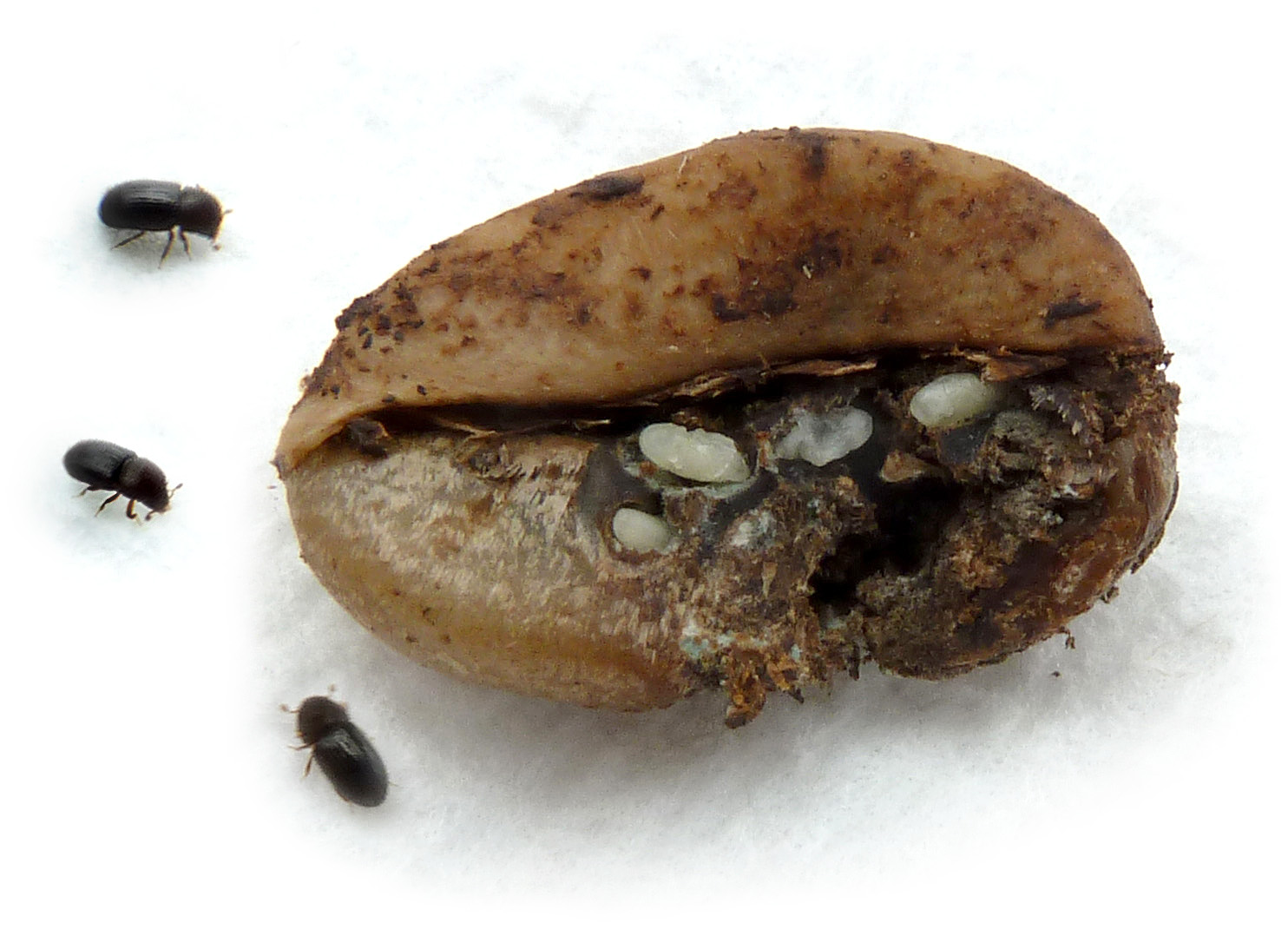 Saving Papua New Guinea from the Coffee Berry Borer